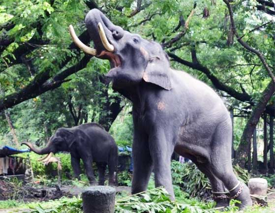 Elephant in shackles: elephant killing for ivory trade and torture for entertainment is widespread in many parts of the world.